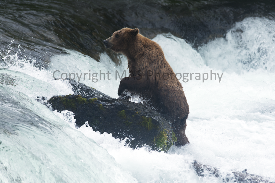 Grizzly Bear, Alaska 2012