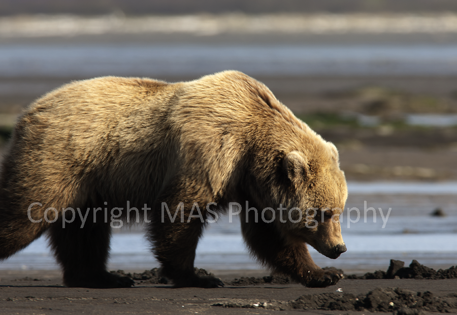 Grizzly Bear Digging Clams
