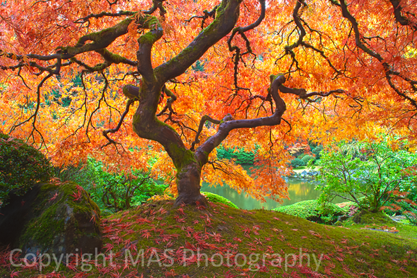 Maple at Japanese Gardens 600